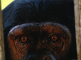 Chimp at Chimpfunshi Wildlife Orphanage in Zambia Photographic Print by Michael Nichols
