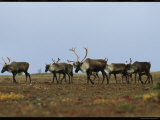 A Group of Caribou in a Tundra Landscape Photographic Print by Norbert Rosing