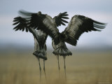 Pair of Common Cranes Stretching and Flapping Their Wings Photographic Print by Klaus Nigge