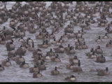 A Flock of Canada Geese Resting Together in Water Photographie par Norbert Rosing