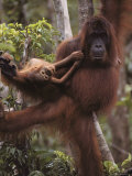 Rehabilitated Mother Orangutan with Infant in Tanjung Puting Reserve, Borneo Photographic Print by Michael Nichols