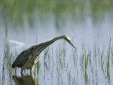 Purple Heron Wading in Water Watching for Passing Fish Photographic Print by Klaus Nigge