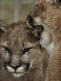 Ten-Month-Old Mountain Lion and its Mother Photographic Print by Jim And Jamie Dutcher