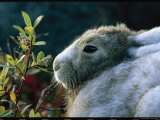 Portrait of a Snowshoe Hare in Coat Color Transition Photographic Print by Norbert Rosing