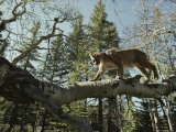 Mountain Lion Walks along a Fallen Tree Photographic Print by Jim And Jamie Dutcher