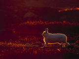 A Snowshoe Hare Outlined in Evening Sunlight Photographic Print by Norbert Rosing