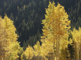 A Stand of Autumn Colored Aspen Trees Intermingled with Evergreens Photographic Print by Charles Kogod
