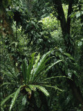 Woodland View with Lush Foliage and Ferns Photographic Print by Tim Laman