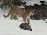 Mountain Lion in a Wintry Landscape Photographic Print by Jim And Jamie Dutcher