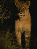Portrait of an African Lioness in the Sun Fotografie-Druck von Kim Wolhuter
