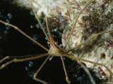 Close View of an Arrow Crab Crawling along a Reef Photographic Print by Brian J. Skerry