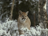 Mountain Lion in a Snowy Landscape Photographic Print by Jim And Jamie Dutcher