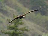 Cinereous Vulture in Flight Photographic Print by Klaus Nigge