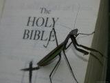 A Praying Mantis Prepares His Sermon Photographic Print