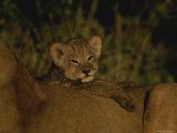 African Lion Cub Rests on its Mothers Back Photographic Print