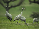 Common Cranes Feeding in Grass Photographic Print by Klaus Nigge
