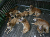 A Happy Group of Golden Retrievers Relax Together Photographic Print