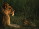 African Lioness and her Cub at Rest in the Late Day Sun Photographic Print