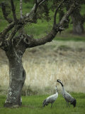 Pair of Common Cranes Standing in Grass under a Gnarled Tree Photographic Print by Klaus Nigge