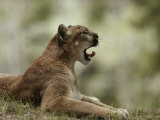 Mountain Lion Curls its Tongue as It Yawns Photographic Print by Jim And Jamie Dutcher