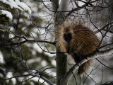 Porcupine Sits High on a Tree Branch in the Winter Photographic Print by Michael S. Quinton