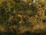 Leopard in Motion Photographic Print