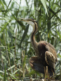 Purple Heron in Tall Aquatic Grasses Photographic Print by Klaus Nigge