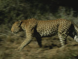 Leopard in Motion Photographic Print by Kim Wolhuter
