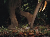 The Legs and Trunk of Two Elephants Photographed by a Camera Trap Photographic Print by Michael Nichols
