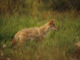 Close View of a Young Coyote Photographic Print by Raymond Gehman