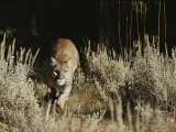 Mountain Lion Charges its Prey After Stalking Photographic Print by Jim And Jamie Dutcher