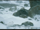 A Snowshoe Hare Amid Large Rocks in a Snowstorm Photographic Print by Norbert Rosing