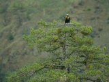 Cinereous Vulture Perched in a Pine Tree Photographic Print by Klaus Nigge