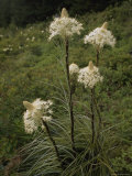 Bear Grass Flowers, Mount Hood National Forest, Oregon Photographic Print by Phil Schermeister
