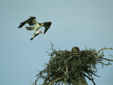 Osprey Carrying a Fish Back to its Nest Photographic Print by Klaus Nigge