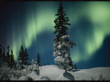 Snow Blanketed Evergreen Trees and the Aurora Borealis at Night Photographic Print by Norbert Rosing