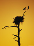 Pair of Ospreys Perched on a Limb above Their Nest at Twilight Photographie par Klaus Nigge