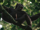 Male Chimpanzee Howls from a Tree Top Photographic Print by Michael Nichols