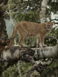 Mountain Lion Surveys its Territory from a Tree Photographic Print by Jim And Jamie Dutcher