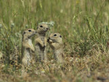 Trio of European Sousliks Alertly Watching and Listening Fotografisk tryk af Klaus Nigge