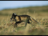An Arctic Fox Carrying a Fresh Kill in Its Mouth Photographic Print by Norbert Rosing