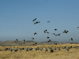 Flock of Common Cranes Flying near Another Flock on the Ground Photographic Print by Klaus Nigge