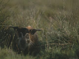 Red River Hog Hides in the High Grass of Loango National Park Photographic Print by Michael Nichols
