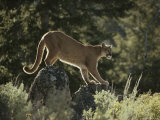 Mountain Lion Crosses Rocks in its Territory Photographic Print by Jim And Jamie Dutcher