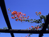 Red Flowers Grow on a Trellis in Somerset West, South Africa, Somerset West, Republic of S. Africa Photographic Print by Stacy Gold