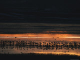 Silhouetted Common Cranes at Waters Edge at Twilight Photographic Print by Klaus Nigge