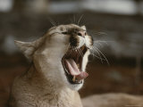 Close View of a Yawning Mountain Lion, Felis Concolor Photographic Print by Jim And Jamie Dutcher