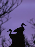 Pair of Wild Ducks in Silhouette, Costa Rica Fotografie-Druck von Steve Winter