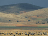 Common Cranes Feeding in a Field with Hills in Distance Photographic Print by Klaus Nigge
