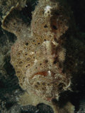 Close View of a Well-Camouflaged Frogfish Photographic Print by Tim Laman